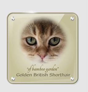 Britisch Kurzhaar Katzenzucht
